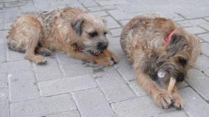 Hazel and Rosie, Border Terriers, eating bones