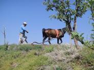 Horse-drawn plough