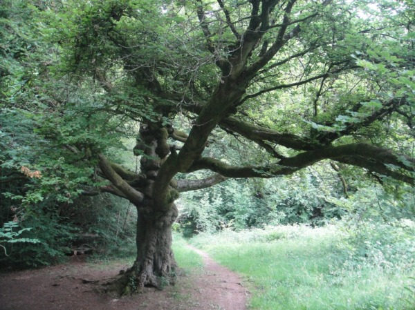 A tree in Cranham woods