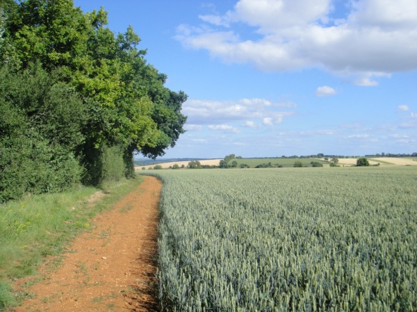 Path along the cornfields