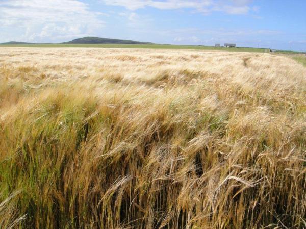 Barley grown for Kilchoman