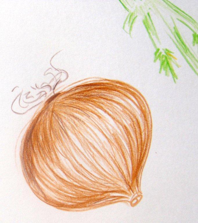 Illustration onion