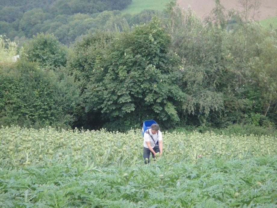 Guy Watson picking artichokes