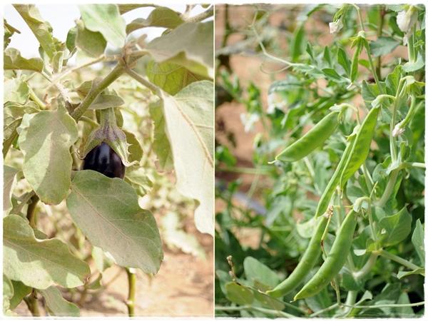 aubergine and peas