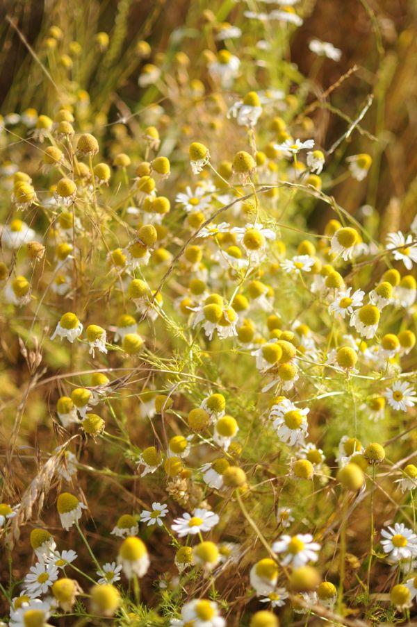 Wild flowers in corn field
