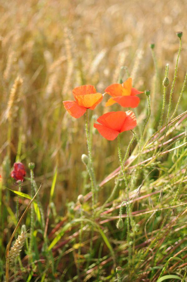 More wild poppies