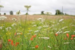 Wild flowers left in a swathe at the field's edge
