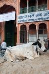 Sacred cow in Jaipur – My CustardPie-1