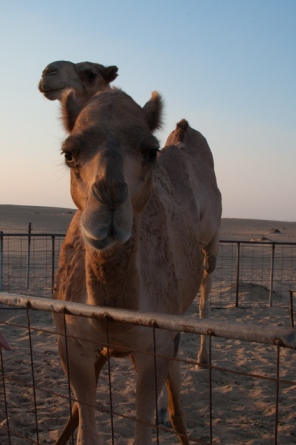 Meeting camels in the desert. How many words are there for camel in Arabic? Find out on mycustardpie