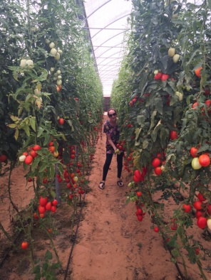 Picking tomatoes straight from the vine