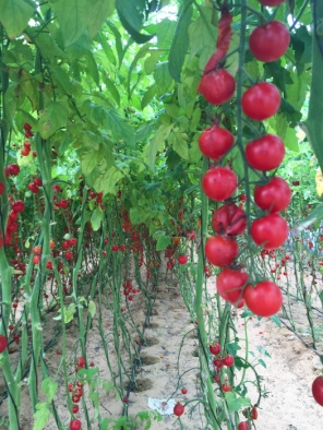 Visiting IGR farm to buy tomatoes and local veg on mycustardpie.com