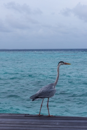 Heron fishing for breakfast. Going to the Maldives-on mycustardpie.com