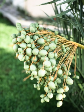 a bunch of green dates