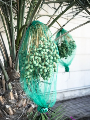 bunches of green dates