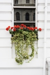 geraniums in a window box
