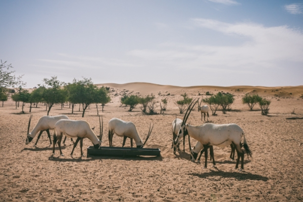 Arbian oryx in the desert