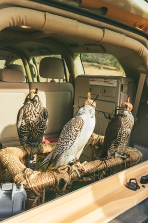 hooded falcons in the back of a four wheel drive car