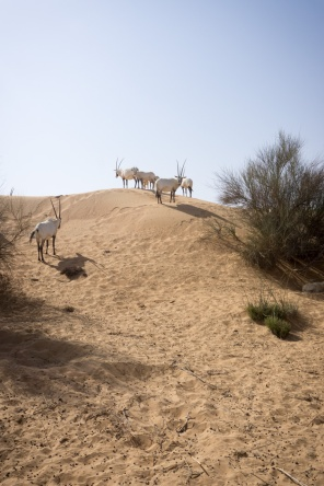 Arabian oryx in the desert