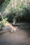 Arabian mountain gazelle next to decking