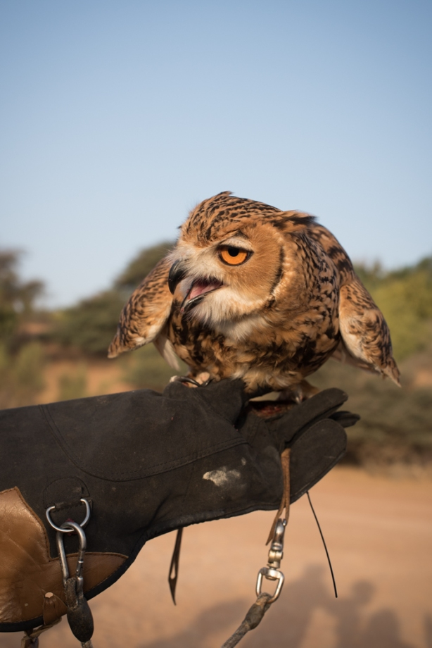 owl on a gloved hand