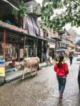 cow in street